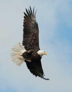 eagle_508