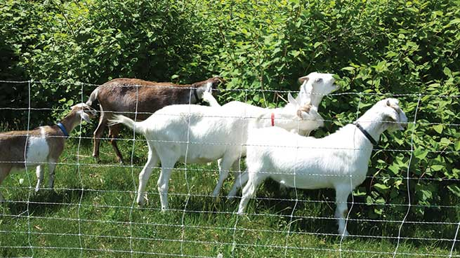 case study  how to turn goat grazing into profits