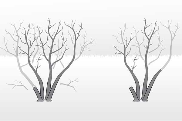Pruned shrub over time